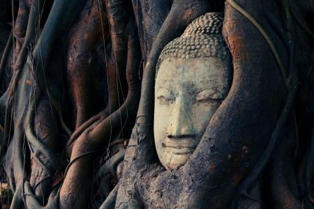 cabeza de buda: Cabeza de Buda se cubre con las ra�ces, el Wat Mahathat en Ayutthaya, Tailandia