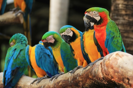 Group of Macaw Birds  Scarlet Macaw   Ara ararauna  sitting on log