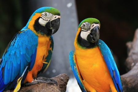 two parrots: Couple Blue-and-yellow Macaws  Ara ararauna  sitting on log  Stock Photo