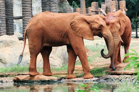 herbivore natural: Couple of African elephants drinking from a river