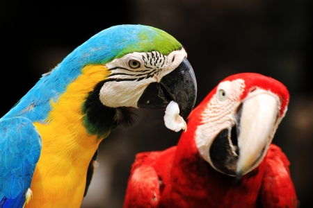 Couple  Macaws bird  Ara ararauna   Scarlet Macaw  sitting on log
