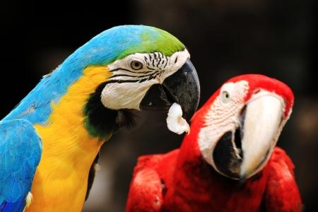 ararauna: Pareja guacamayos Ara ararauna ave Scarlet Macaw que se sienta en registro