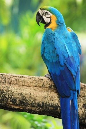 Blue-and-yellow Macaw Ara ararauna  sitting on log Imagens - 14589796