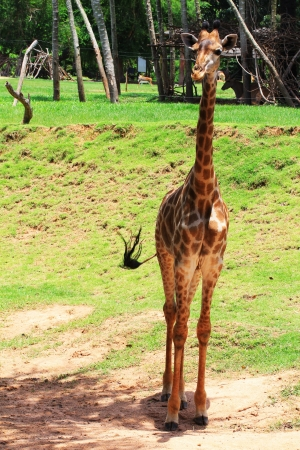 Young giraffe standing in the woods alone photo