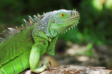 Green iguana on tree branch  Imagens