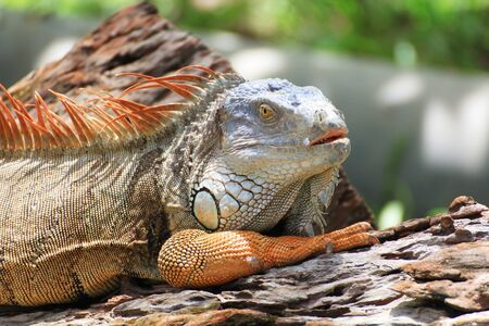 Big iguana  on the tree photo