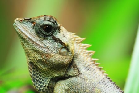 Close up lizard discover in Thailand