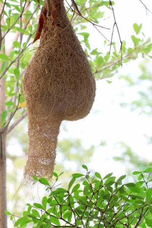 weaver bird nest: Bird nest are woven with dry grass