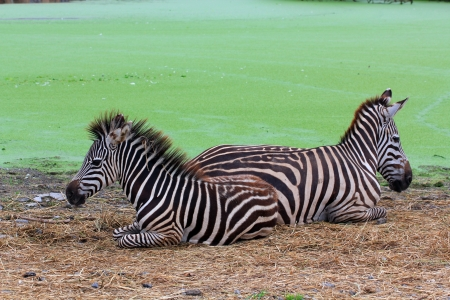 Choice of two zebras on grassy fields