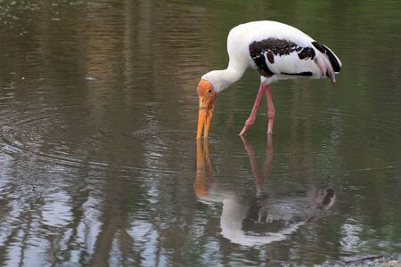 Great White Pelican  Pelecanus onocrotalus  chases the fish in water Stock Photo - 15093645