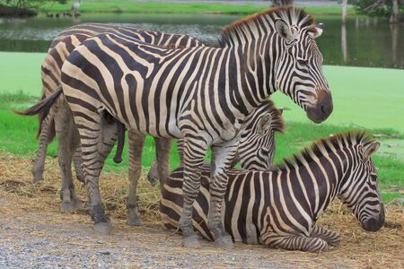 Group of zebras with time resting  Stock Photo
