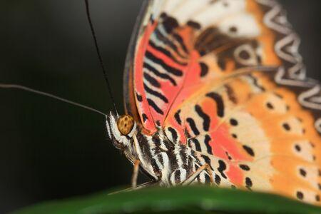 danaus: Common Tiger butterfly  Danaus genutia  on the leaves