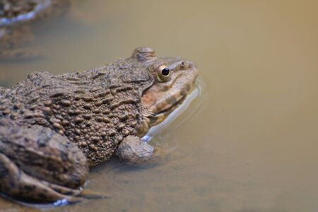 wetland conservation: Frog Hoplobatrachus rugulosus  in the field of Thailand