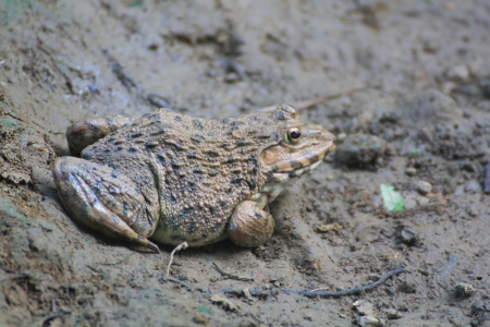 Frog Hoplobatrachus rugulosus  in the field of Thailand