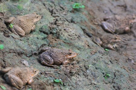 riparian: Group frogs Hoplobatrachus rugulosus  in the field of Thailand