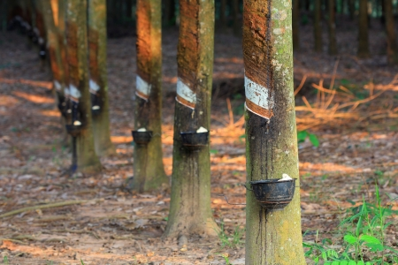 Rubber trees and equipment for put milk photo
