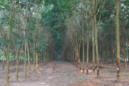 Rows of rubber trees in Thailand photo