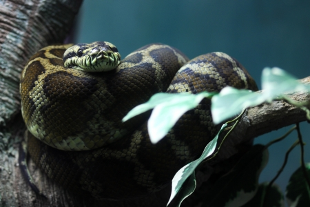 formidable: Python Snake is a formidable creature