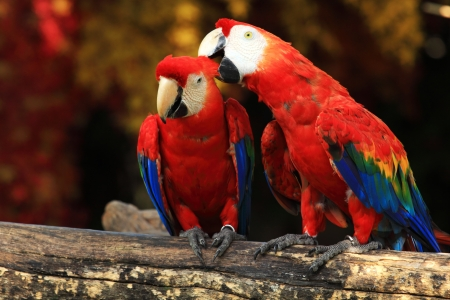 Couple Scarlet Macaws sitting on log