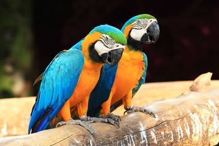 Couple blue-and-yellow macaws  Ara ararauna  sitting on log  photo