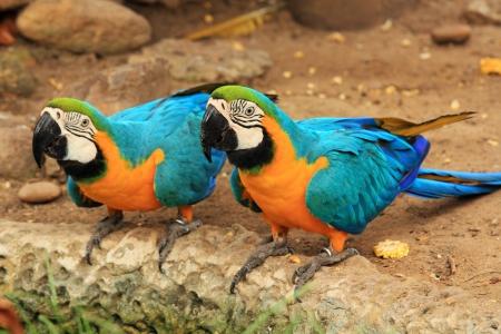 ararauna: Couple Blue-and-yellow macaw  Ara ararauna  on the ground