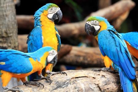 ararauna: Group of beautiful parrot macaws on  tree  Stock Photo