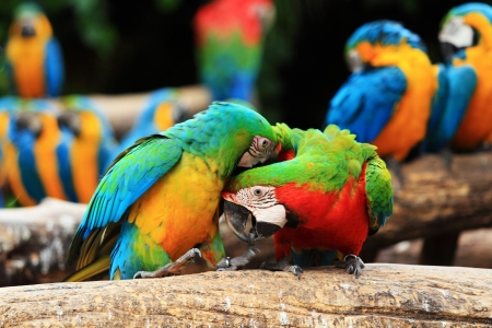 Couple Scarlet macaw and Blue-and-yellow macaw  Ara ararauna  sitting on log
