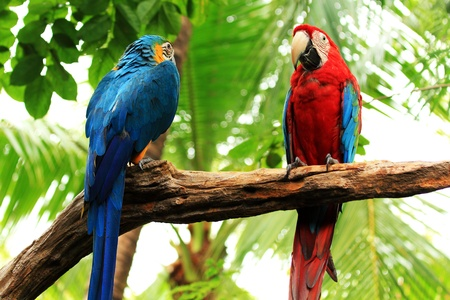Couple Scarlet macaw and Blue-and-yellow macaw  Ara ararauna  sitting on log  photo