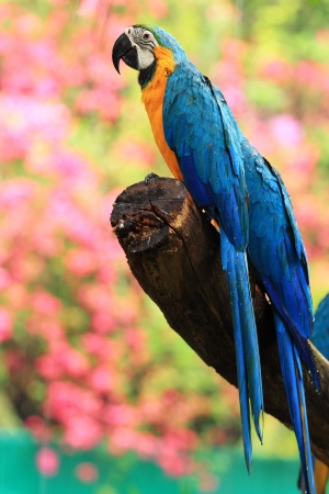 Blue-and-yellow macaw Ara ararauna  sitting on log  photo