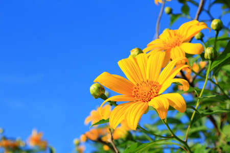 Mexican Sunflower Tithonia diversifolia  in blue sky  photo