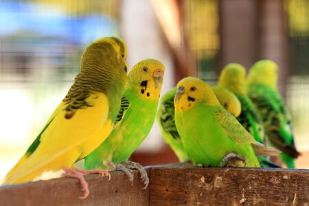 Lovebird parrot [Agapornis] is cute pets photo