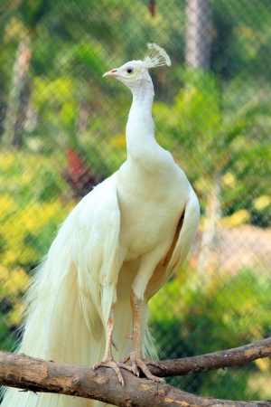 Beautiful white peacock bird  stand on branch
