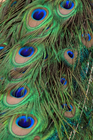 Background with patterns of peacock feather