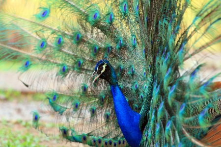 Portrait of peafowl beautiful with feathers out  Stock Photo