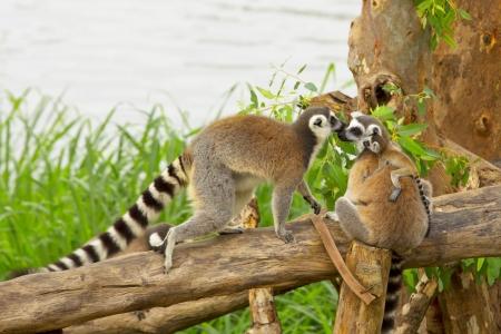 Ring - tailed lemur(Lemur catta) with cute family Imagens - 18242125