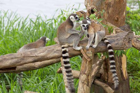 Ring - tailed lemur(Lemur catta) with cute family  photo