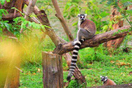 catta: Ring - tailed lemur(Lemur catta) with cute family