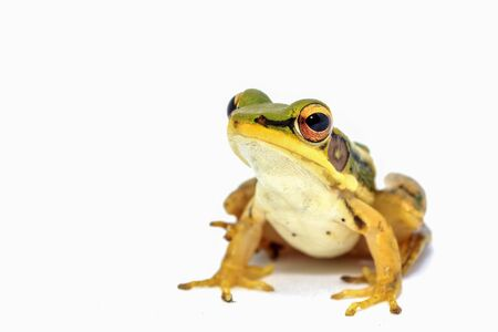 arboreal frog: Green frog sitting on white background Stock Photo