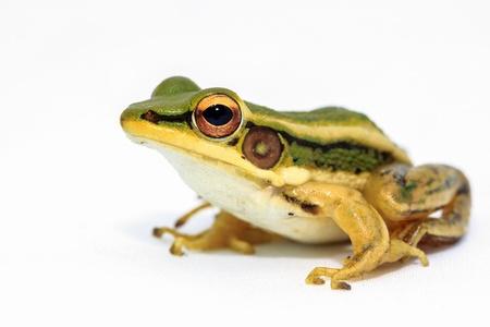 arboreal frog: Rana verde que se sienta en el fondo blanco