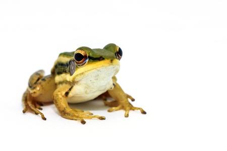 grenouille verte: Grenouille verte assis sur fond blanc