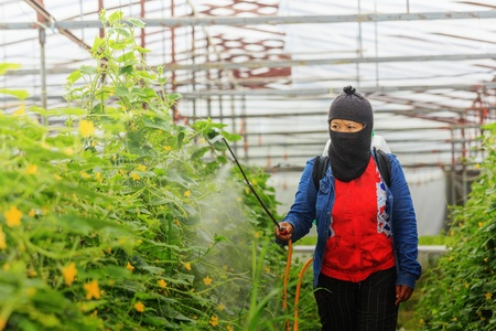 insecticidal: Protecting vegetables from vermin with pressure sprayer