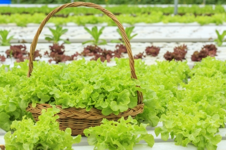 Vegetables in Basket of hydroponic vegetable farm Imagens