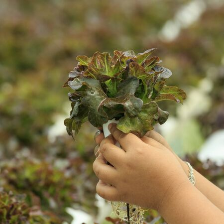 Vegetables in hand of hydroponic vegetable farm  photo