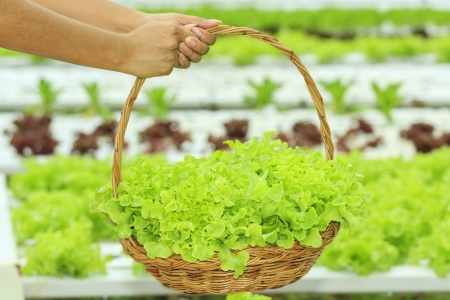 Vegetables in Basket of hydroponic vegetable farm photo