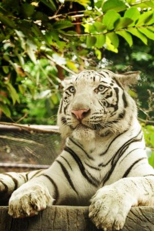 White tiger in wild photo