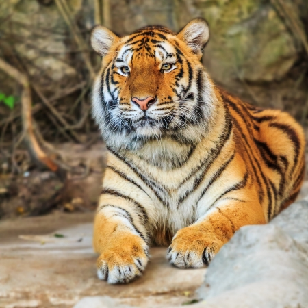 Close up Dangerous Tiger  Stock Photo