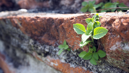Trees growing in the brick. Ancient old red brick wall with small green tree sprout in wall. Concept of hope and rebirth or new life.