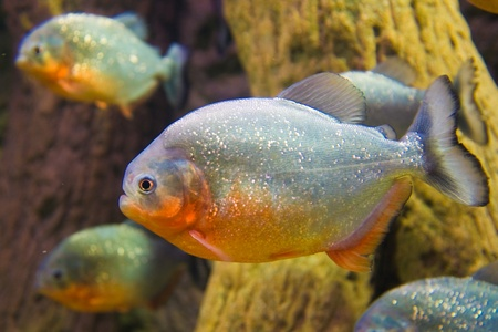 Red Bellied Piranha  Pygocentrus Nattereri   photo