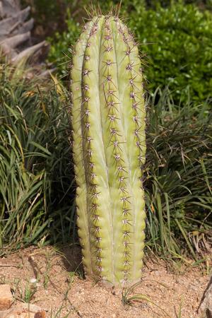 Pasacana tree cactus (Echinopsis Pasacana).