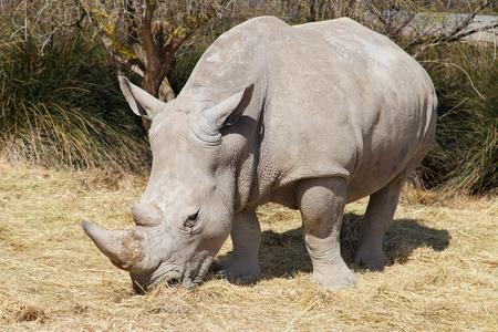 grazer: White Rhinoceros (Ceratotherium simum) Stock Photo